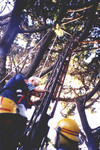 Not a cat this time! A Plimmerton lad is helped down from the crown of a tall tree.